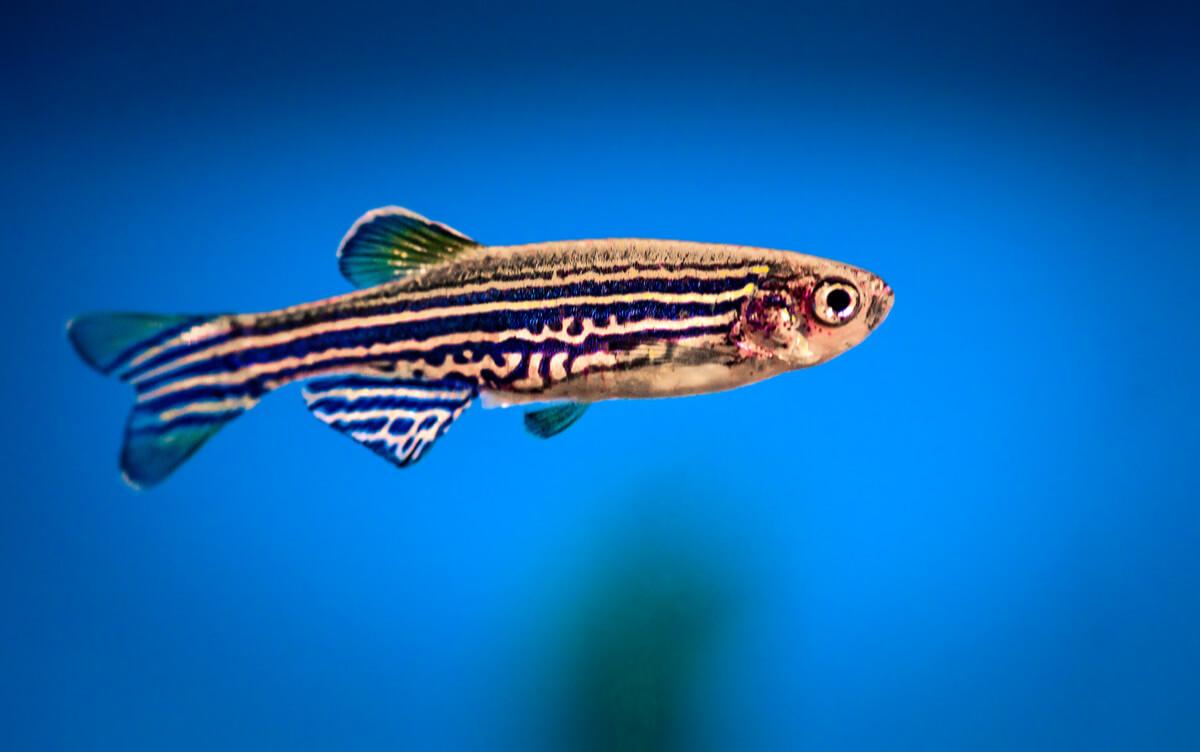 Un poisson-zèbre.