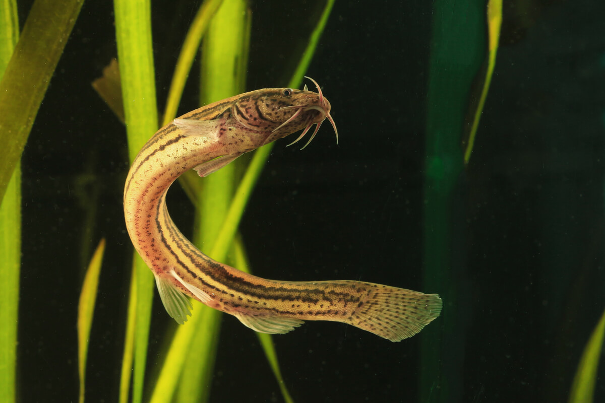 Tipos de peces de agua fría: pez dojo.