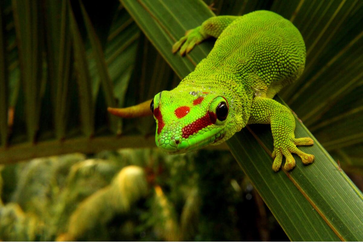 Phelsumas o geckos diurnos: cuidados y características