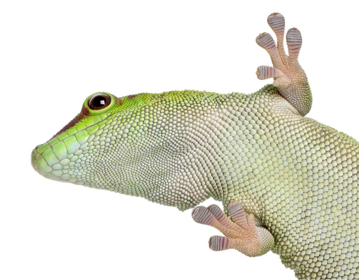 Geckos diurnos sobre fondo blanco.