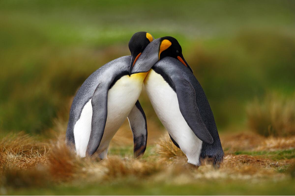 Los pingüinos se abrazan.