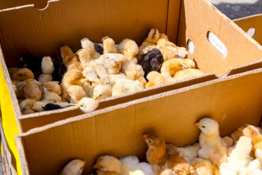 Rescate de 20 000 pollitos abandonados en el aeropuerto de Barajas