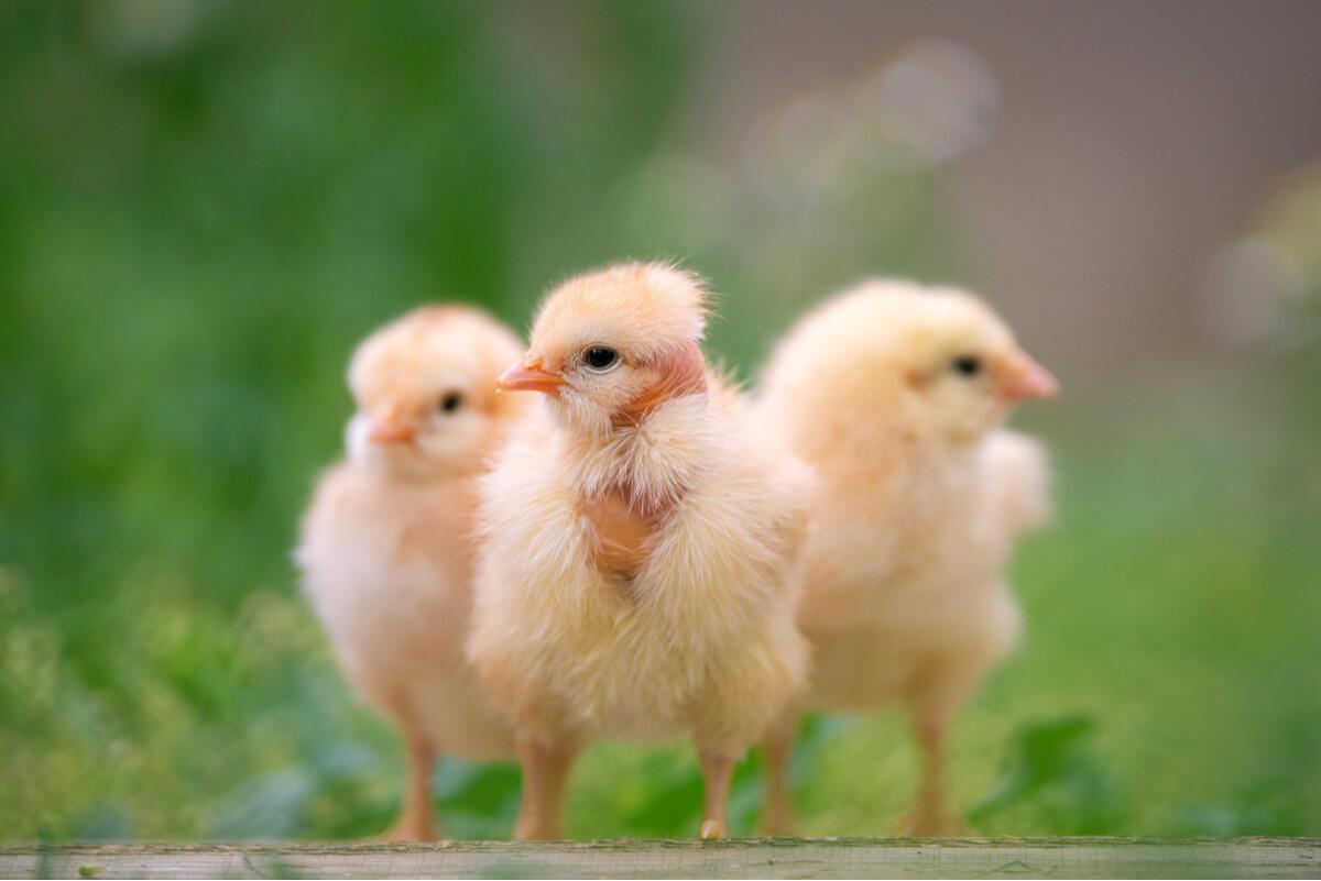 Tres pollitos en un ambiente natural.