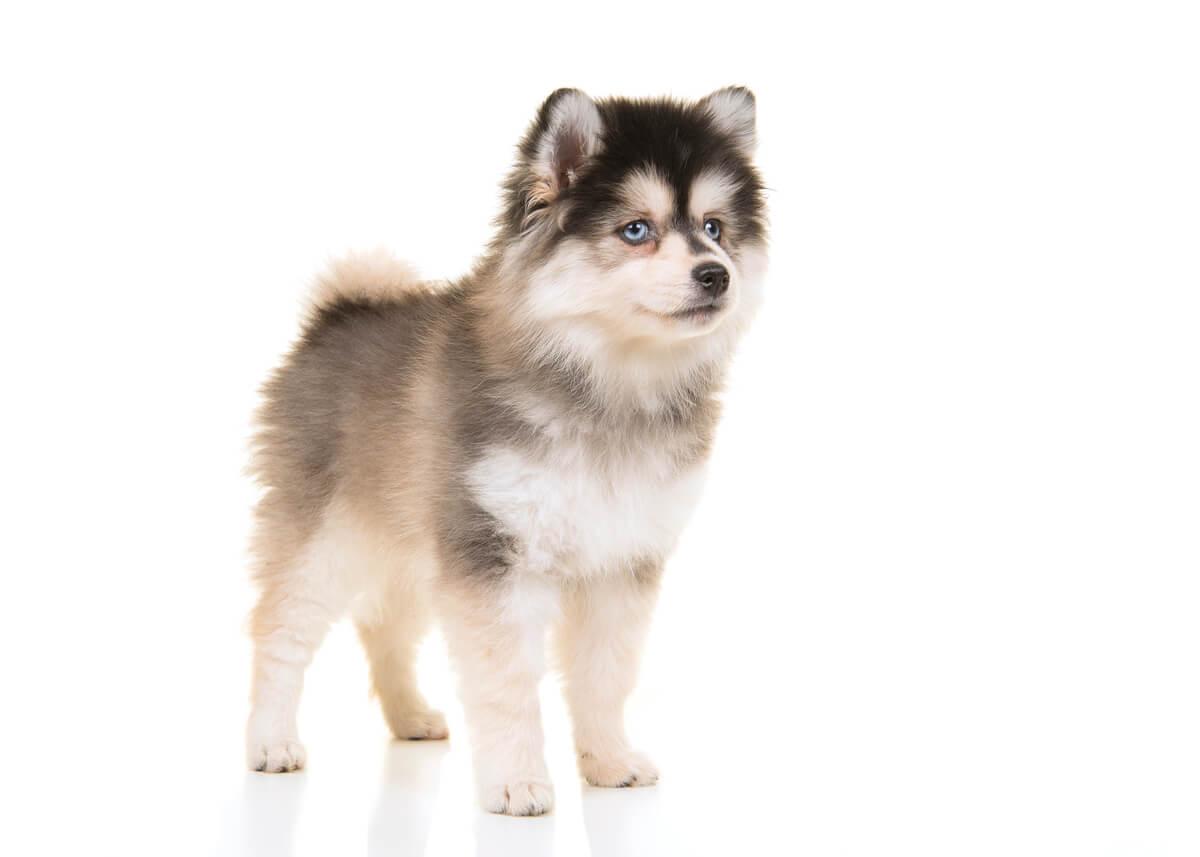 El pomsky es uno de los cruces de perros más extraños.