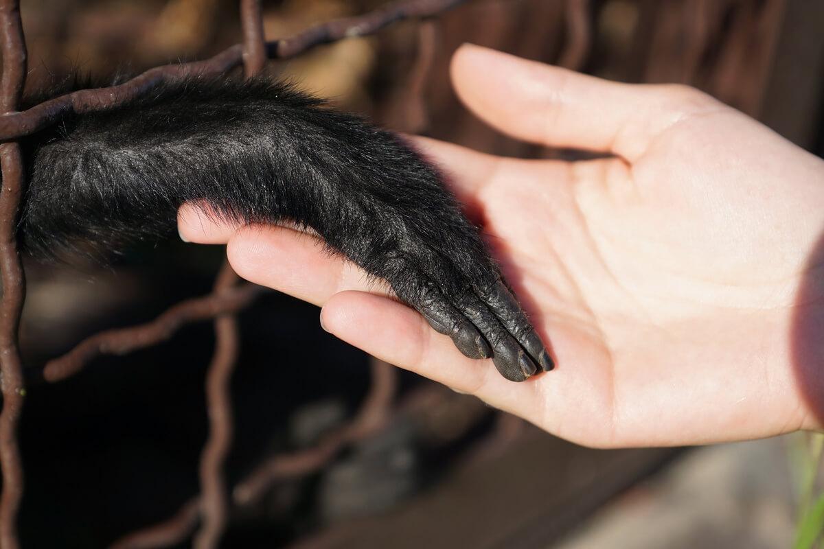 Schimpanse und Hand eines Menschen