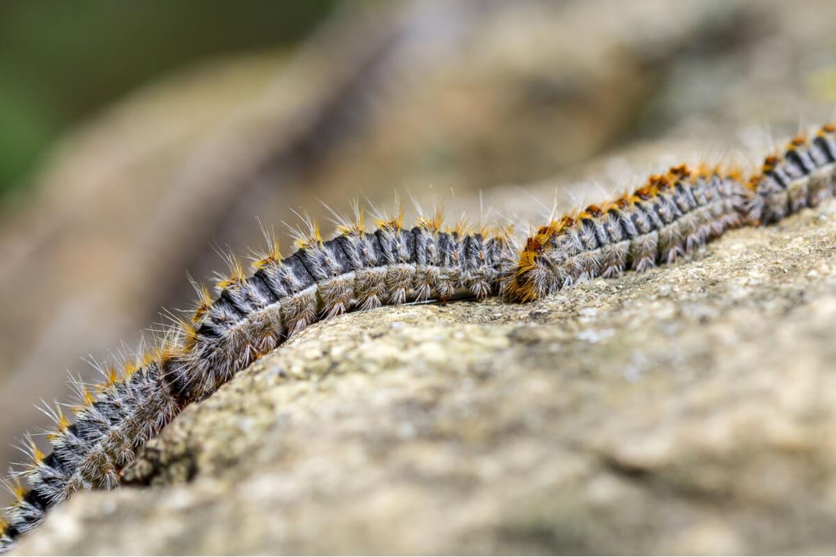 ¿Por qué hay plagas de oruga en otoño?