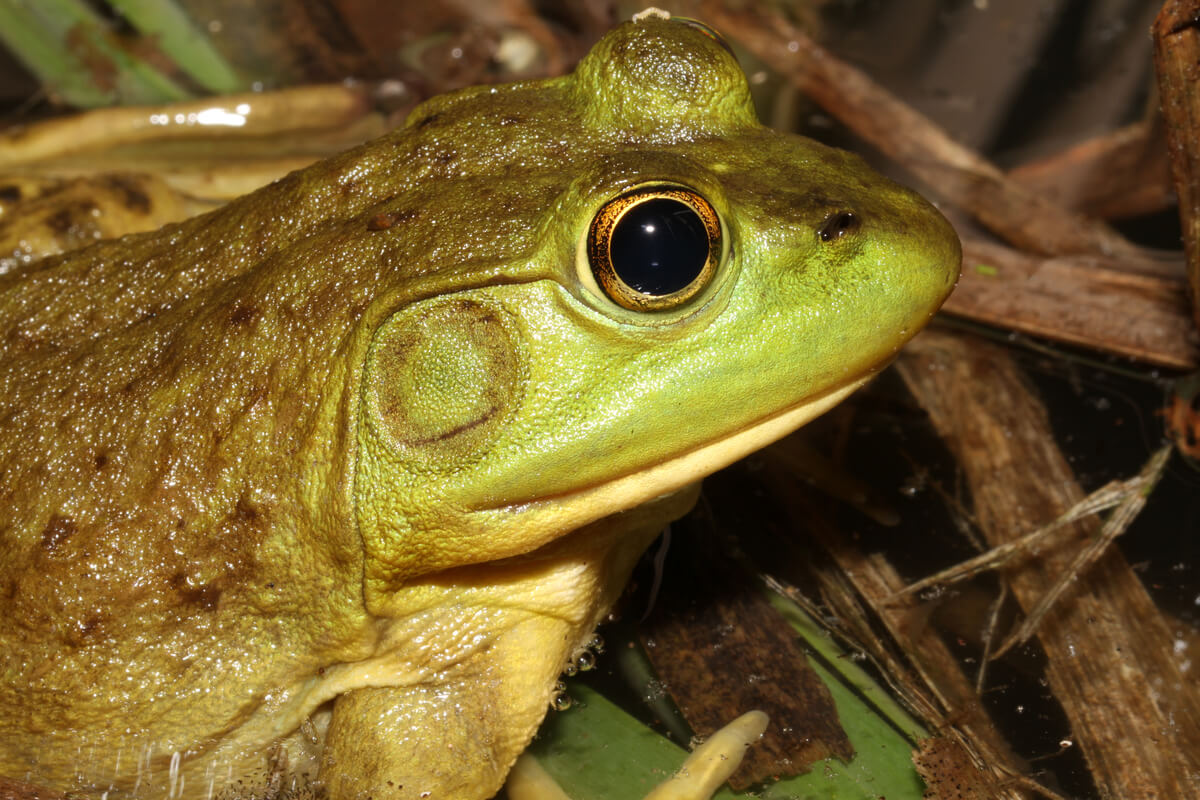 La cabeza de una rana toro americana.