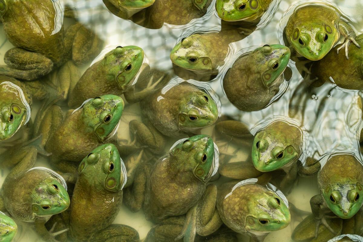 Muchas ranas toro en un estanque.