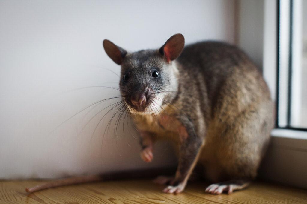 Ratas para la detección de minas y tuberculosis