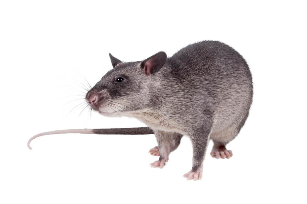 Una rata gigante sobre un fondo blanco.