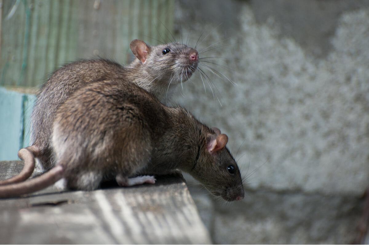 Ratas marrones en la calle.
