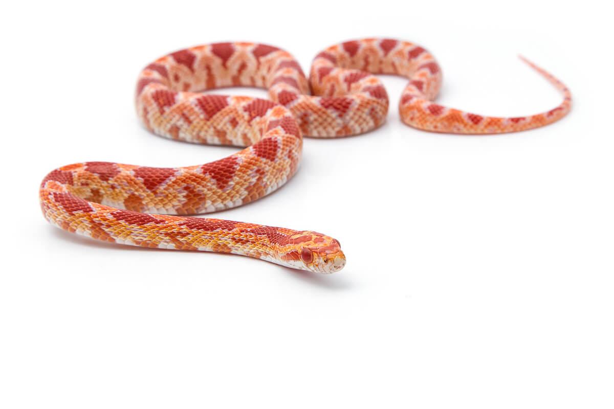 Una serpiente del maíz sobre un fondo blanco.