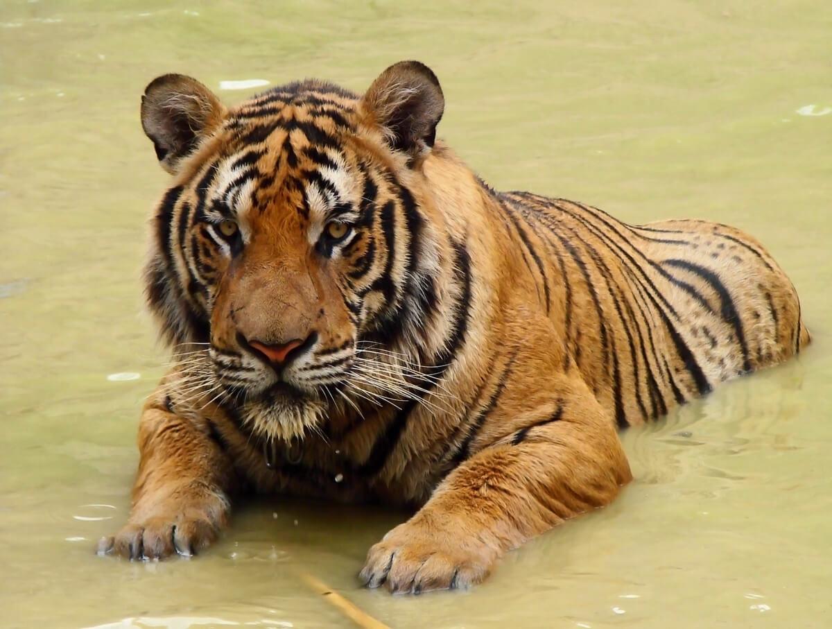Tigre de Amoy: un majestuoso felino al borde de la desaparición