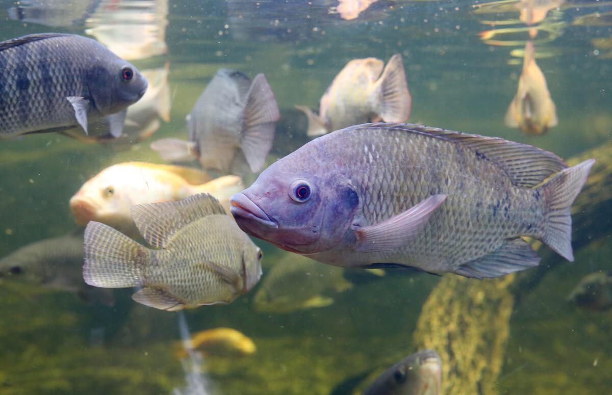 Una tilapia en un acuario.