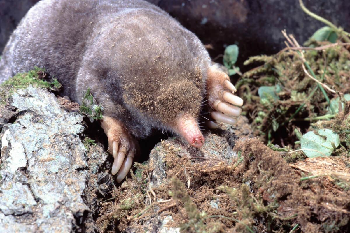 L'un des types de mammifères placentaires.