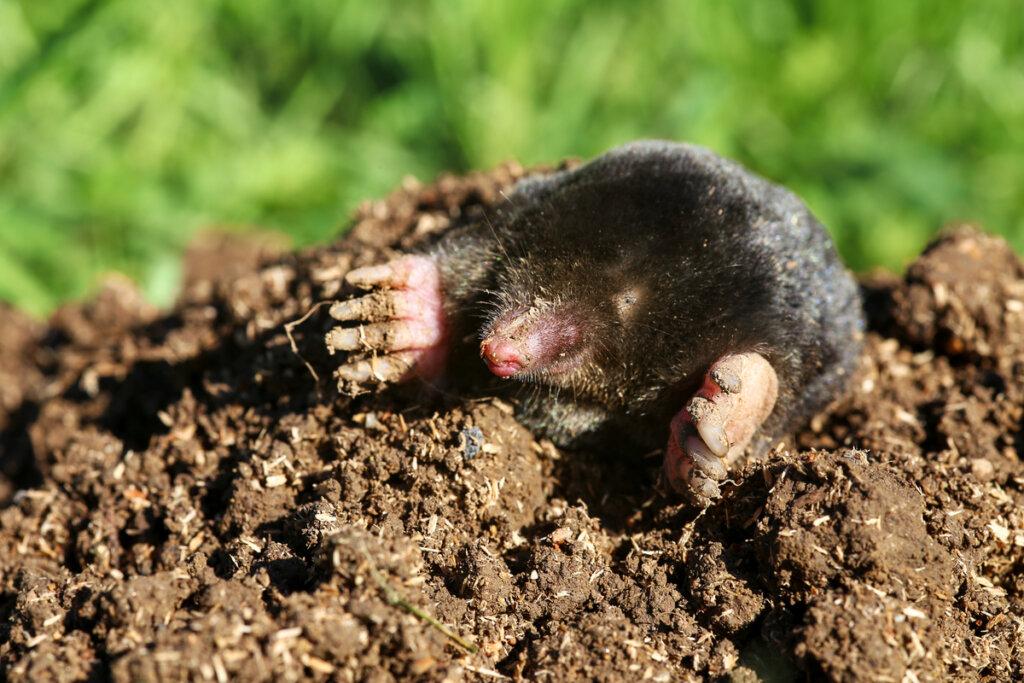 ¿Cuáles son los tipos de topos?