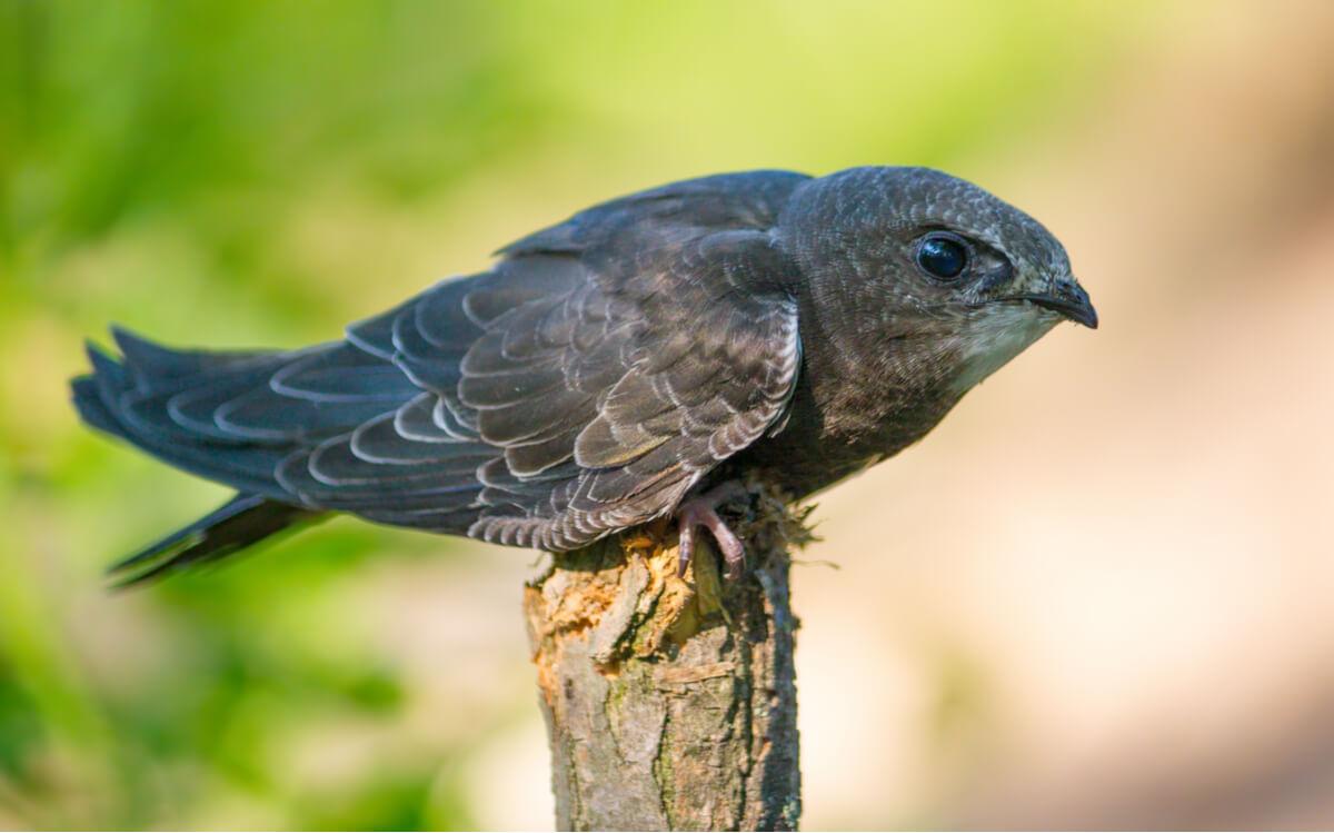 O andorinhão-comum é a ave do ano 2021.