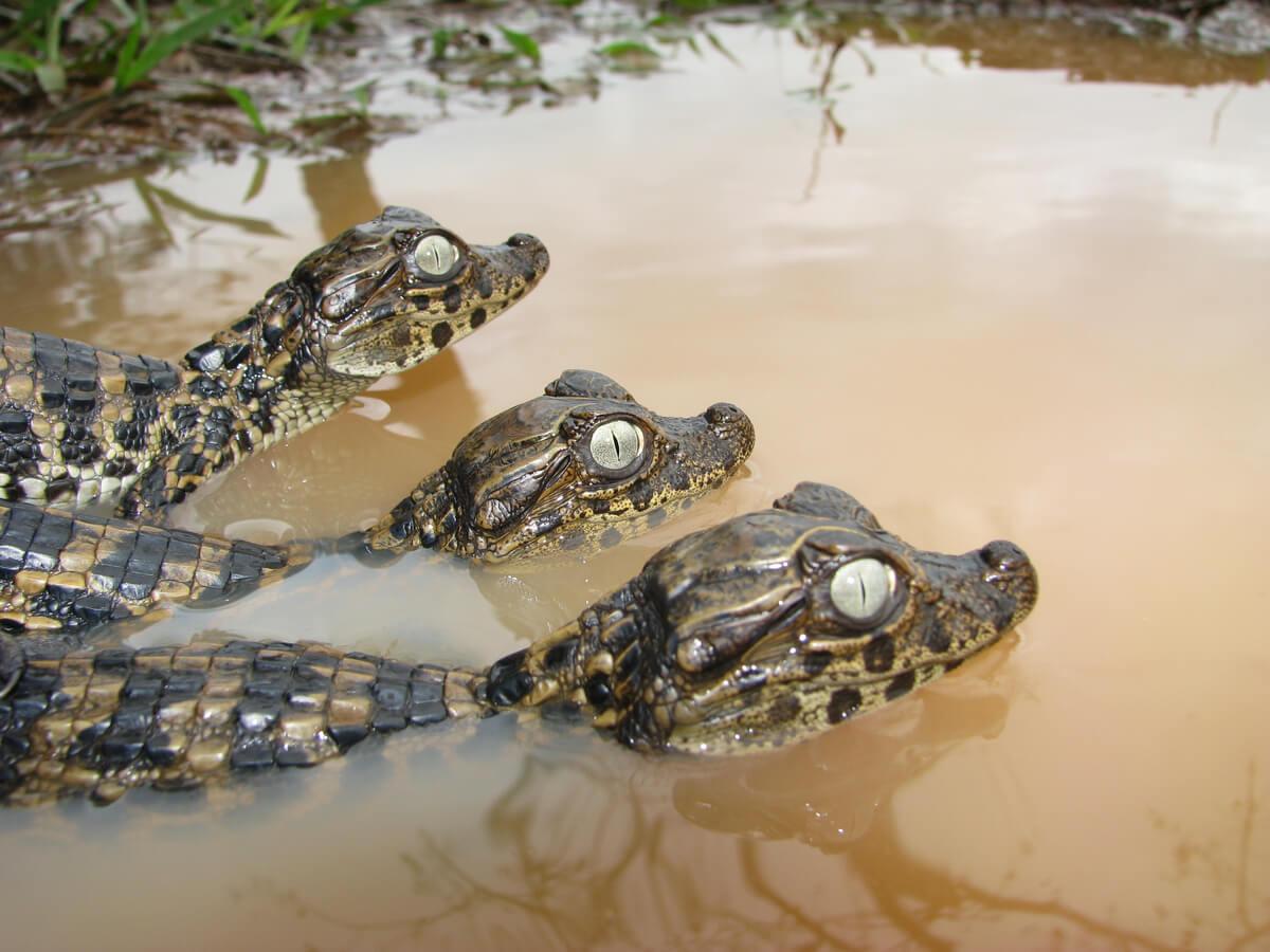 Una pareja de caimanes.
