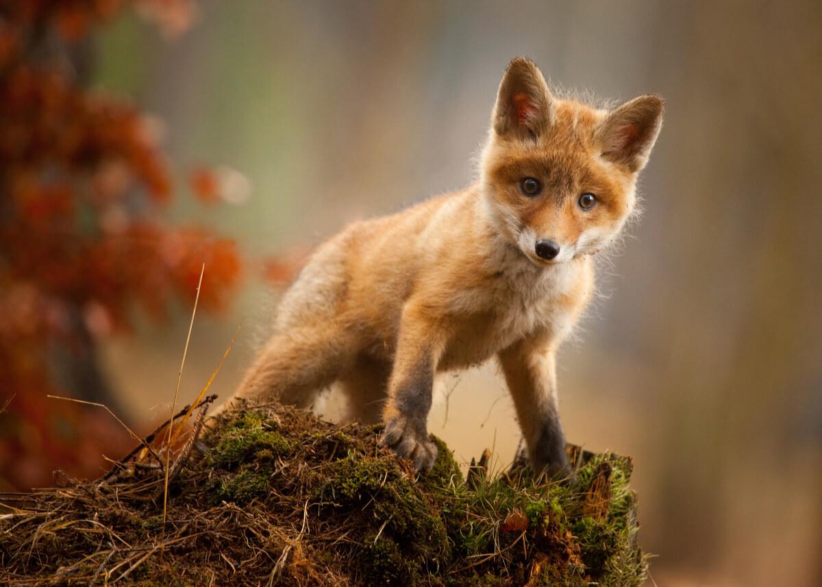 Los zorros rojos son animales protagonistas de películas.