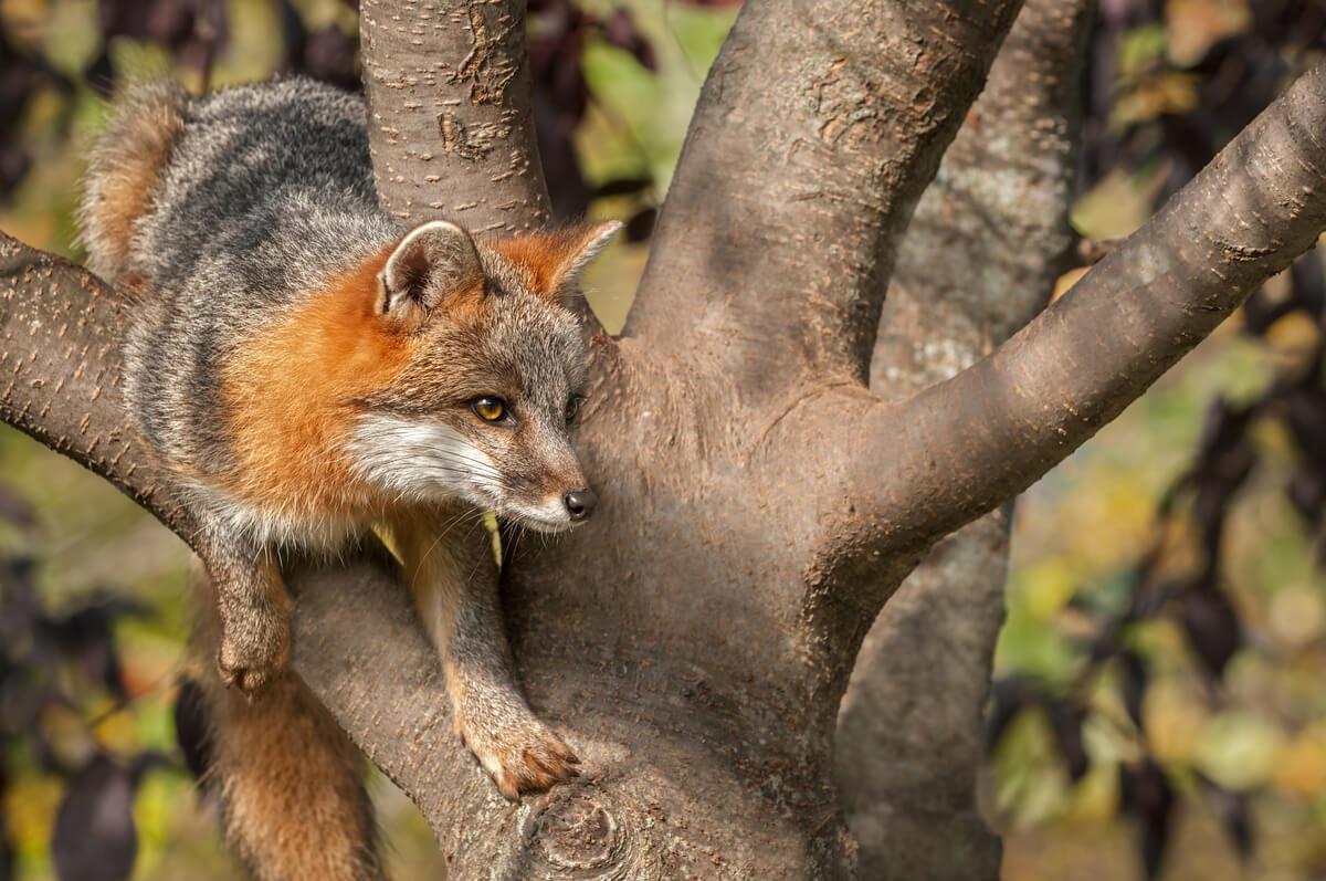 Un zorro gris sobre un árbol