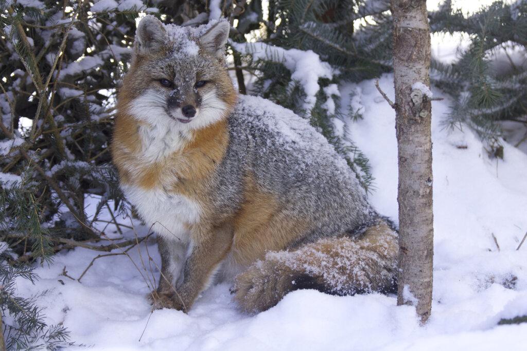 Curiosidades y hábitos del zorro plateado