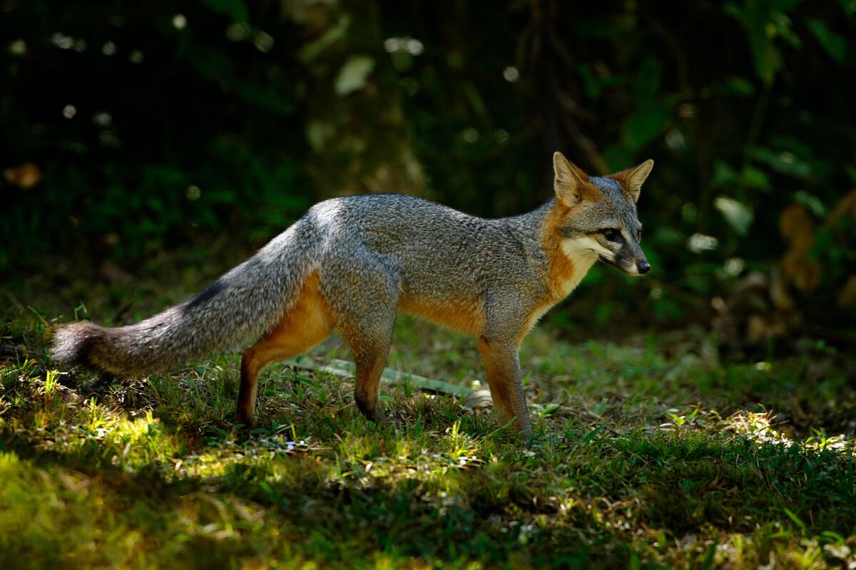 Un zorro gris en el bosque.
