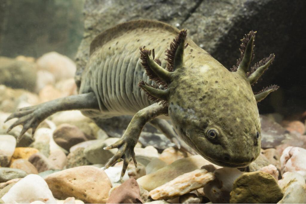 ¿Cómo enfriar el agua del acuario de un ajolote?