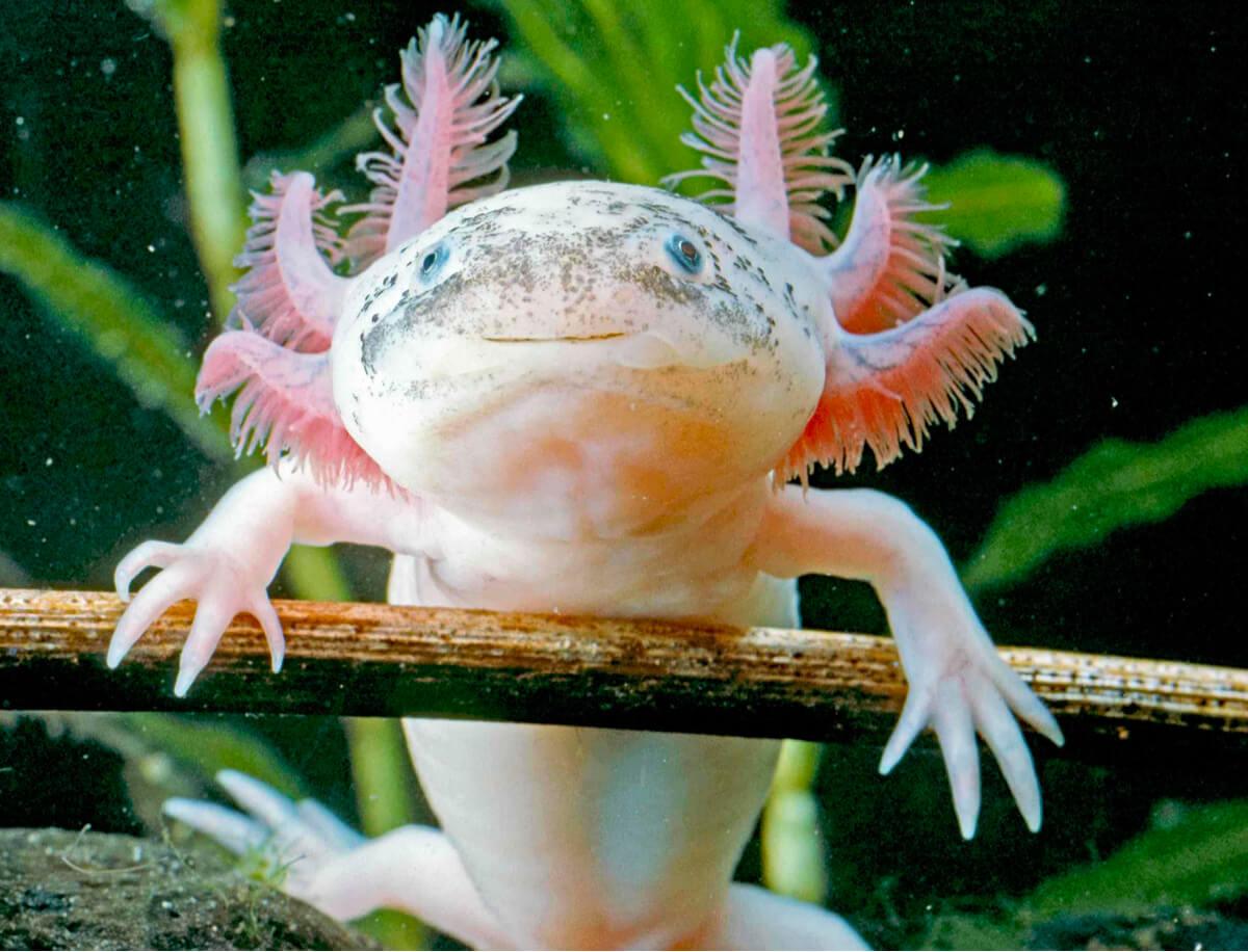 L'axolotl è un anfibio in via di estinzione.