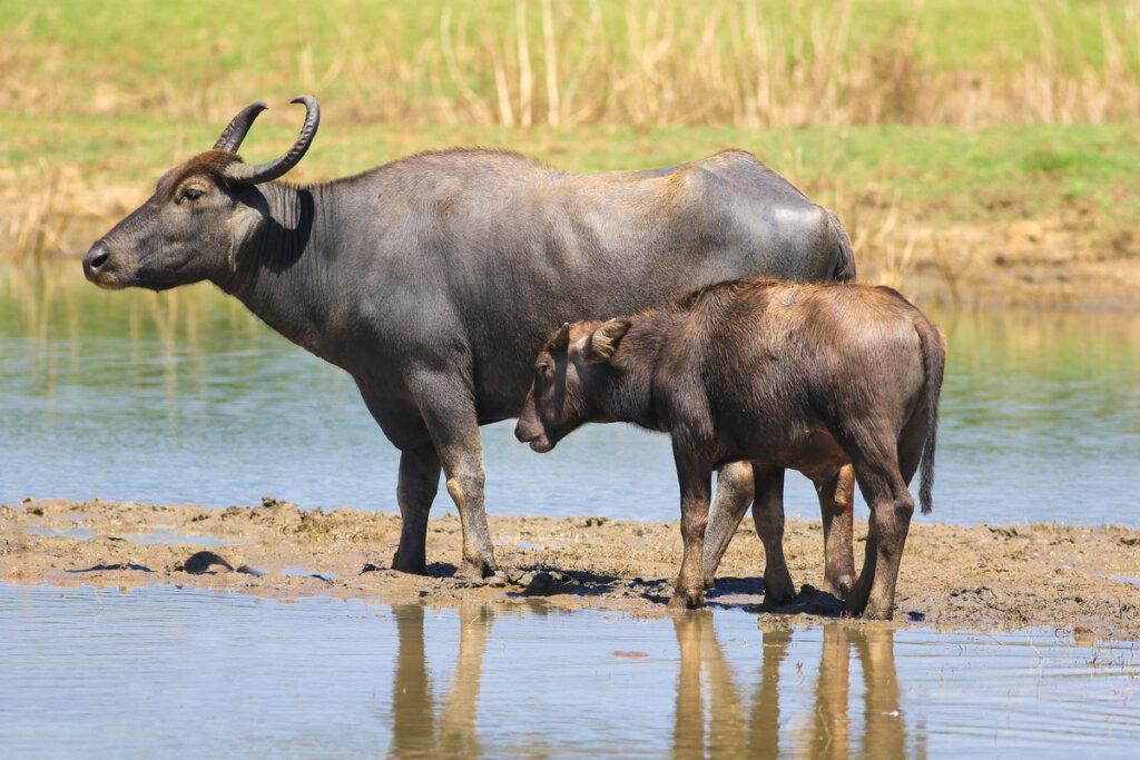 Los búfalos y la ganadería: una nueva simbiosis