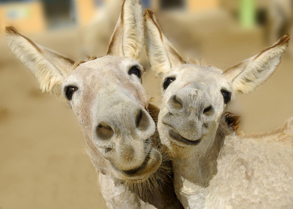 Un couple d'ânes heureux.