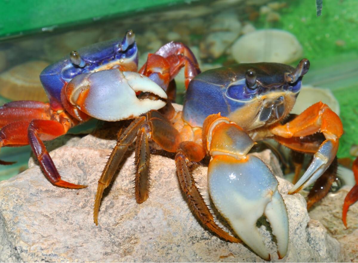 El ciclo de muda en los crustáceos es muy importante.