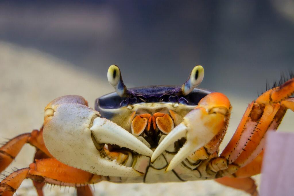 Cangrejo arcoíris (Cardisoma armatum): cuidados y características