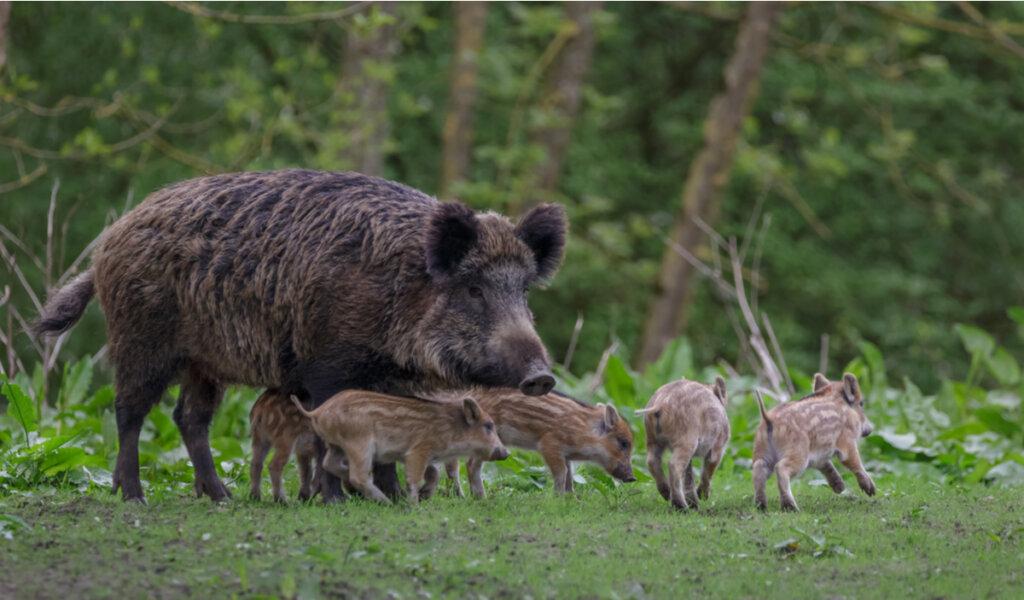 Enfermedad de Aujeszky: ¿importante en los jabalíes o solo en los cerdos?