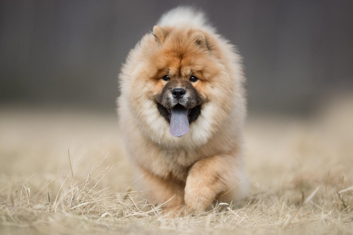 Un perro chow chow