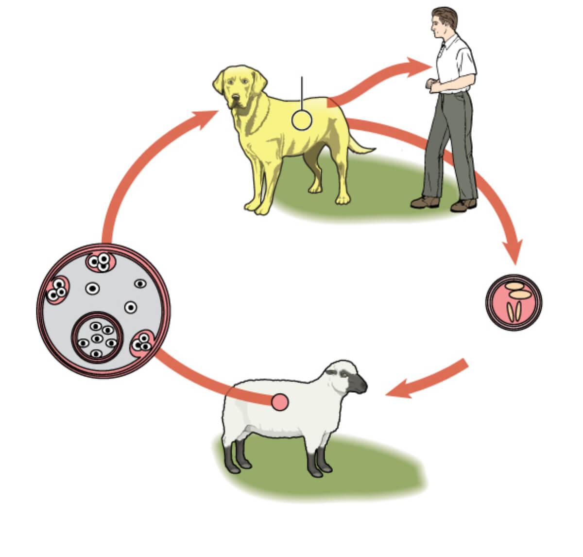 Ciclo de vida del parásito causante de la hidatidosis.