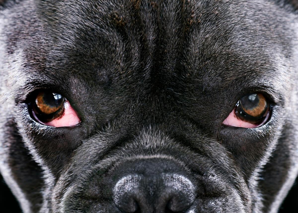 Un síntoma de la conjuntivitis en perros.