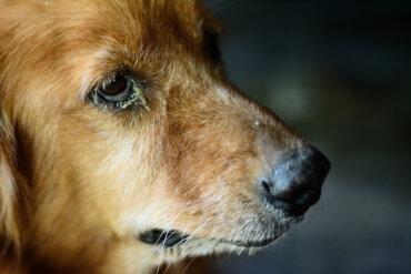 ¿Cuáles son las causas de la conjuntivitis en perros?