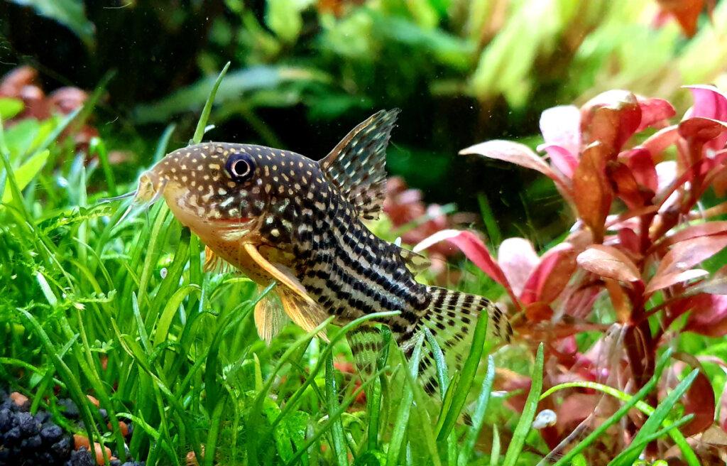 4 peces de fondo ideales para tu acuario