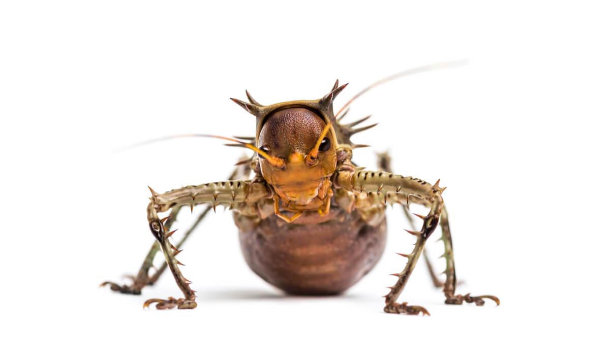 Un Cosmoderus femoralis de frente.