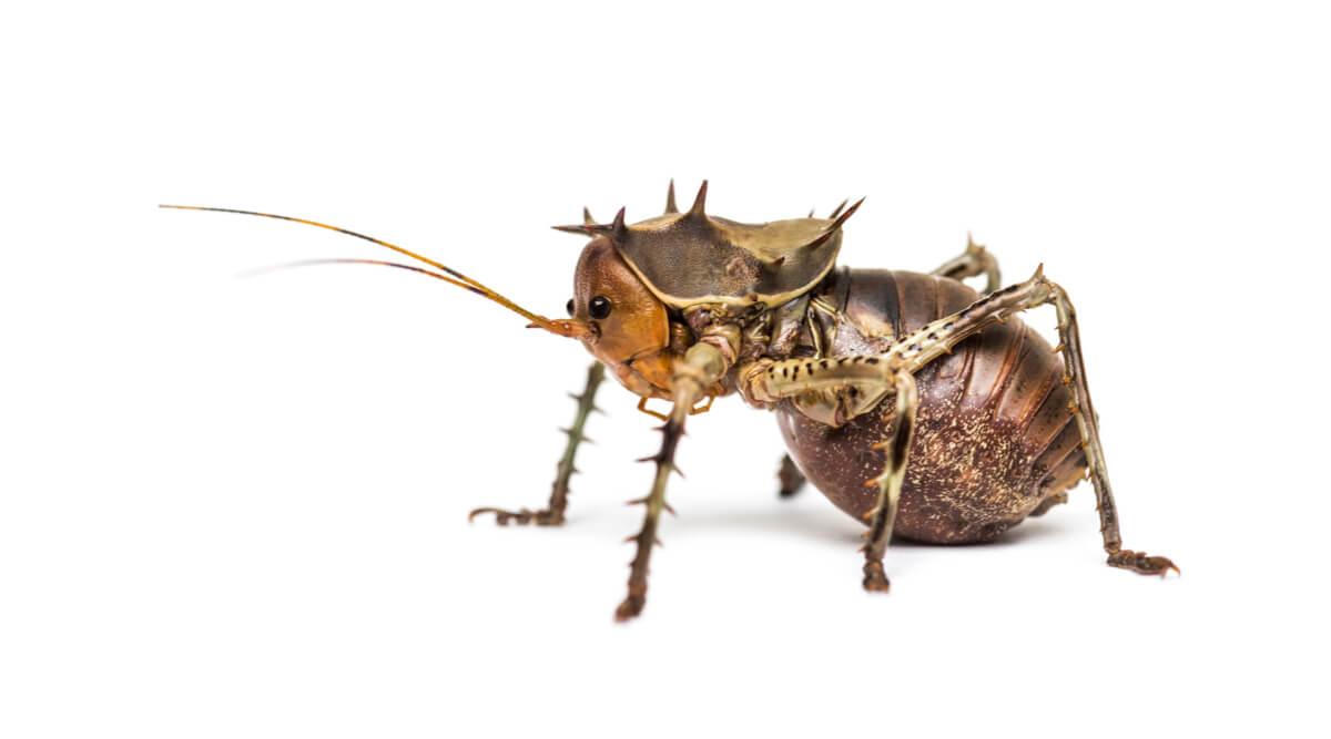 Vista lateral de un Cosmoderus femoralis.