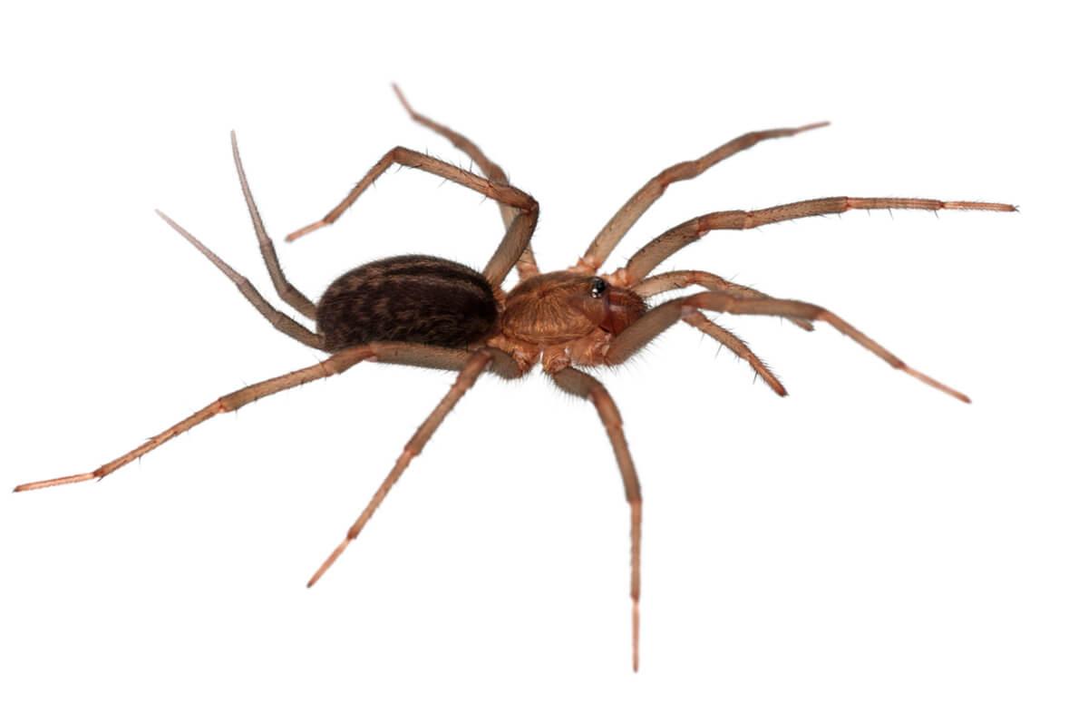 Una cría de Linothele megatheloides.