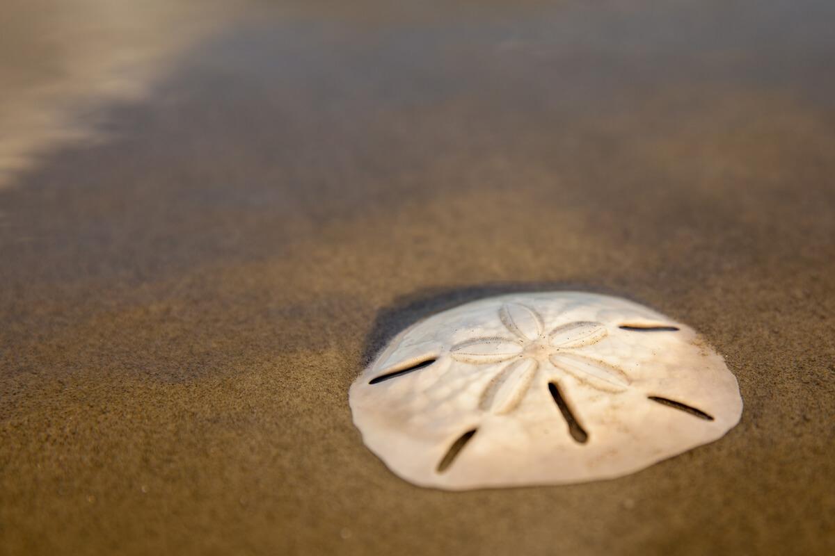 Un dólar de arena en la playa.