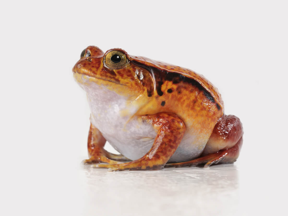 Una rana Dyscophus sobre un fondo blanco.