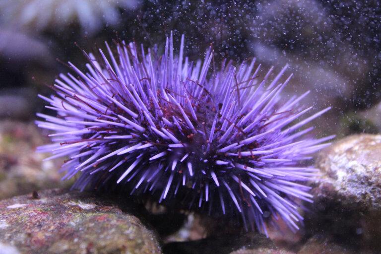 5 curiosidades de los erizos de mar