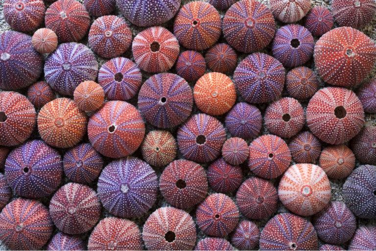 ¿Qué tipos de erizos de mar existen?