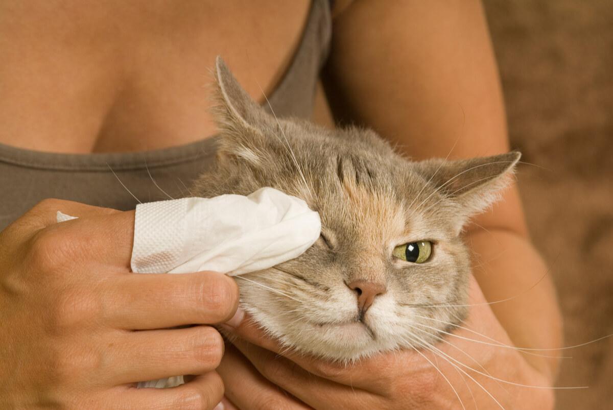 Un gato tratado de conjuntivitis.