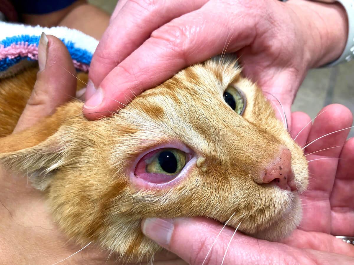 Causas de la conjuntivitis en gatos