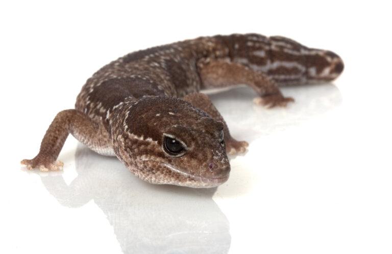 Gecko de cola gorda (Hemitheconyx caudicinctus): cuidados en cautiverio