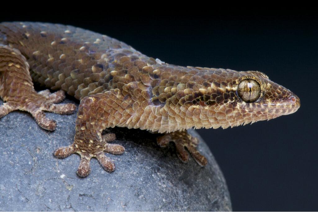 Gecko escama de pez (Geckolepis maculata): cuidados en cautiverio