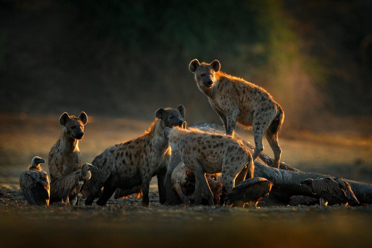 Las hienas son animales digitígrados.
